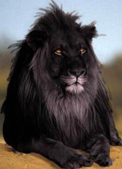 rare black lion