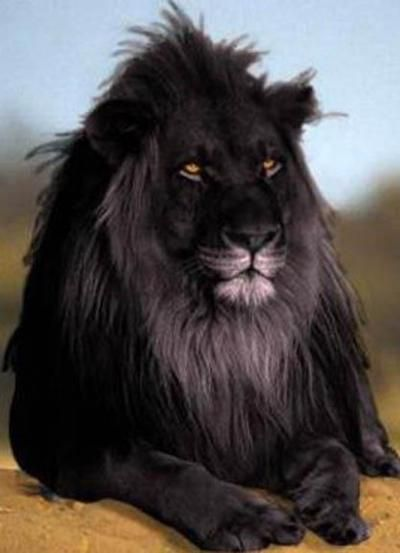 Legendary South African Lion. Wow. He's beautiful. It looks like a little artistic license with the all-black coloring, but...