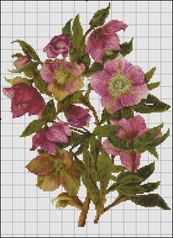 lilac hellebore