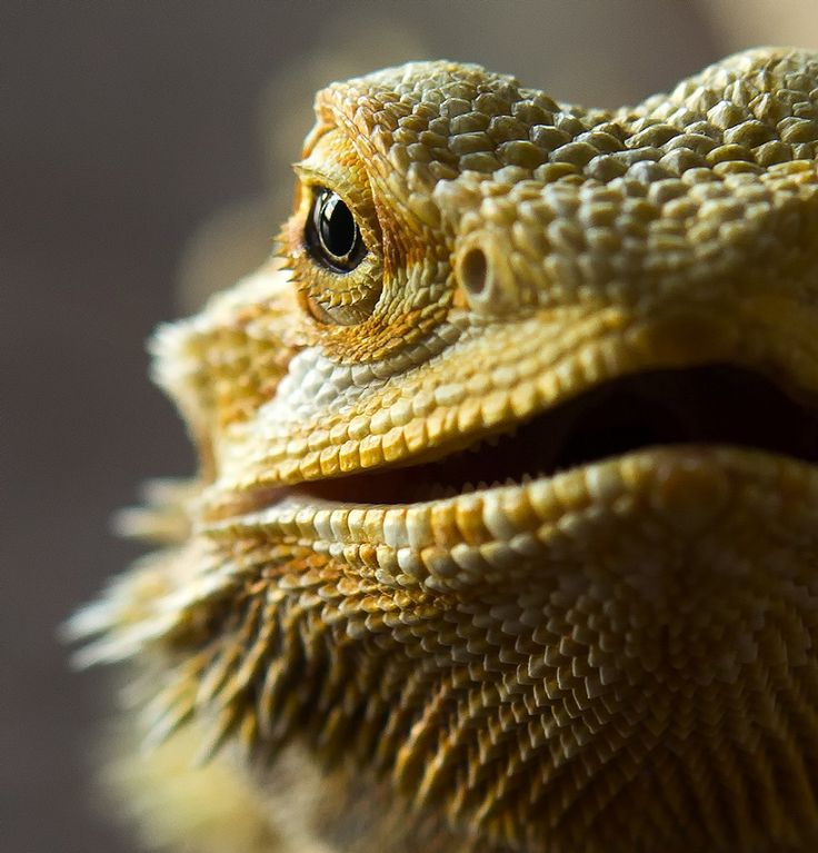 The Charm Of The Little Bearded Dragons