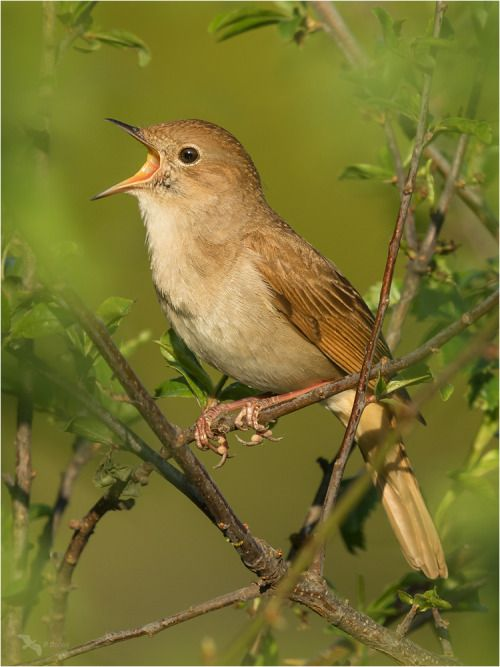 There is no other bird that sings so deeply, so full of ecstacy as the Nightingale - Luscinia megarhnchos.Nightingales are are therefore best known for their singing talent. They native to, and widely distributed, in central and southern Europe and...