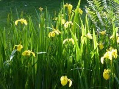 Bunga Iris (Neomarica longifolia)