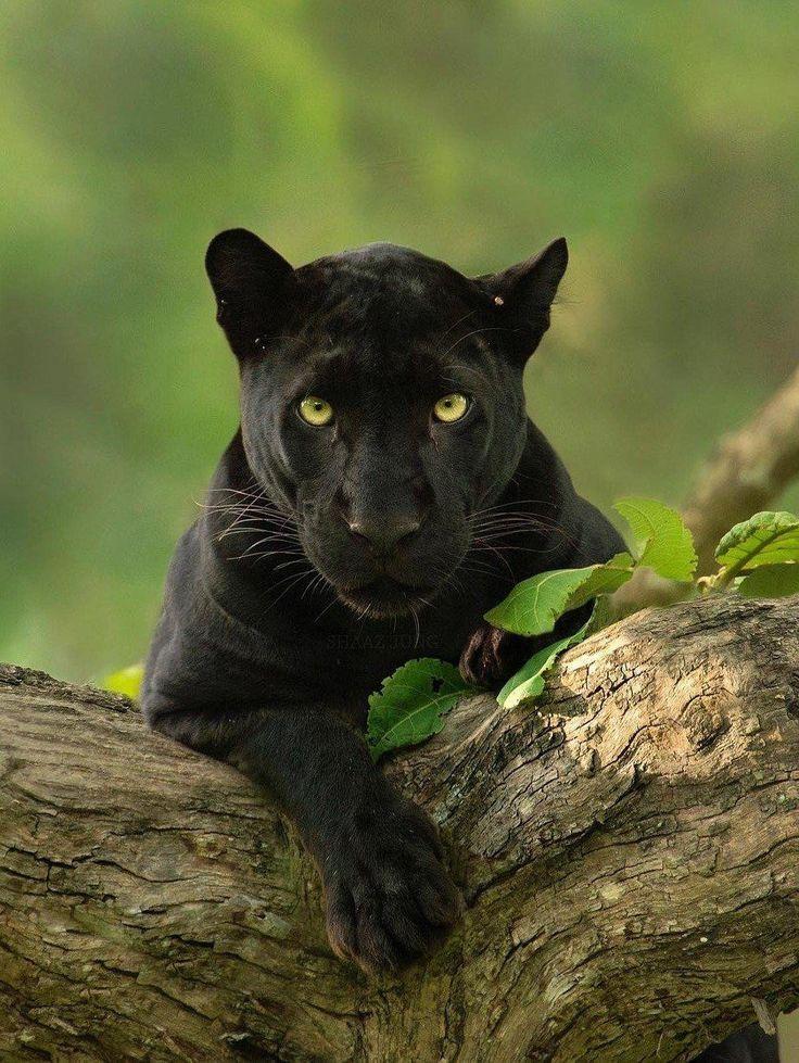 Пантера картинки высокое качество