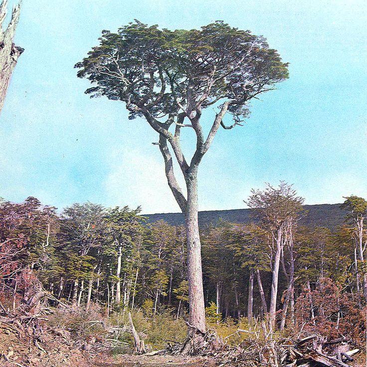 Nothofagus betuloides - Wikipedia, la enciclopedia libre