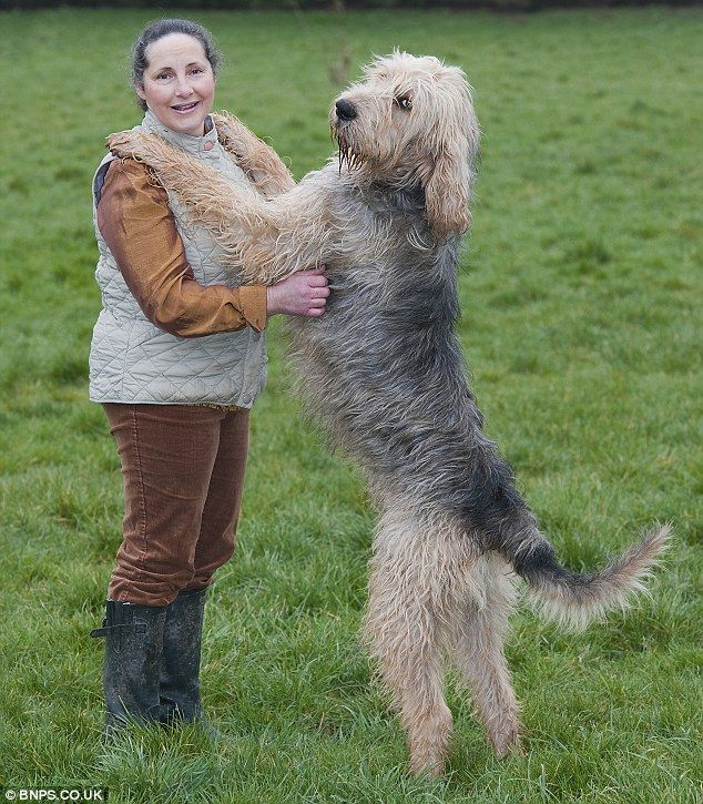 Otterhound adoration -- they are a breed with a big, loving heart. Wonderful with children, always.