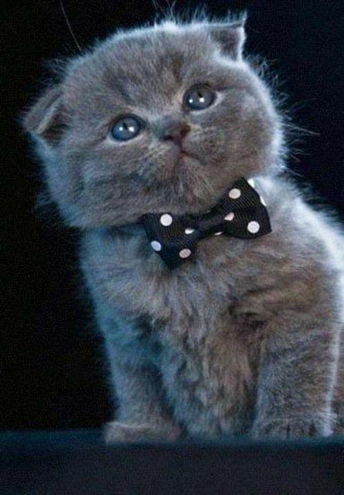 Pin By Arend Van On Katten Scottish Fold Kittens Kitten Breeds