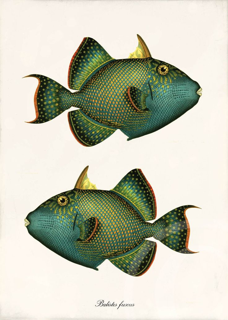 Antique Fish Art Collage Print - 5 x 7 - Natural History - Balistes fuscus. $10.00, via Etsy.