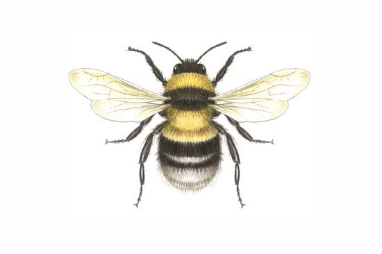 bumble bee drawing - Google Search
