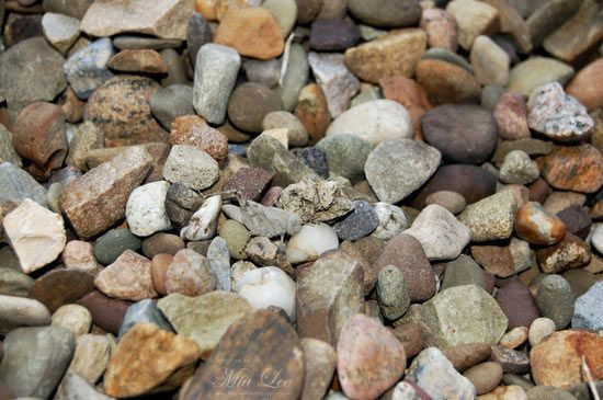 Rock grasshopper