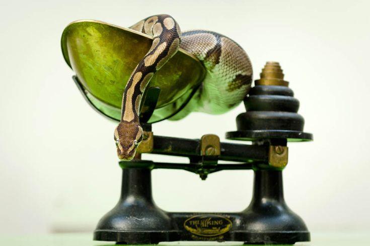 Un Pitone Reale in una bilancia durante la pesa annuale allo zoo di Londra (LEON NEAL/AFP/Getty Images)