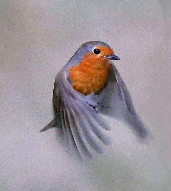 Robin   by Musicaltone