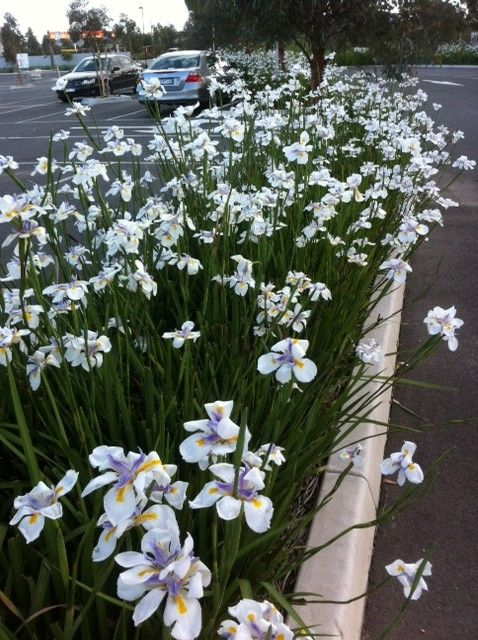 Dietes Grandiflora (Wild Iris)    I can see some of these working beautifully!