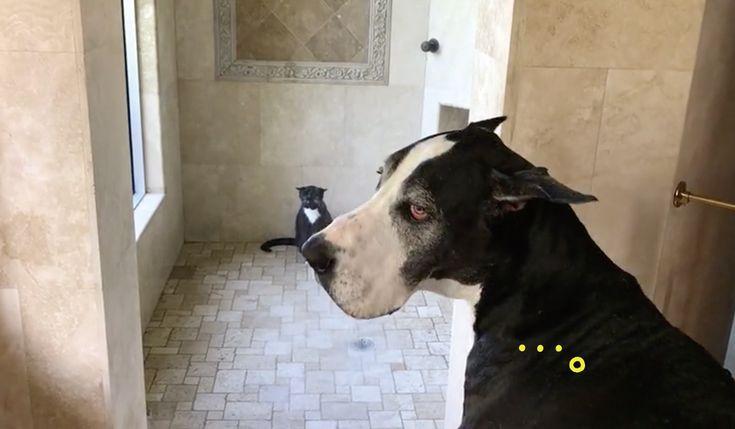 猫の余裕と犬の忍耐シャワーの順番を礼儀正しく待つグレートデーン