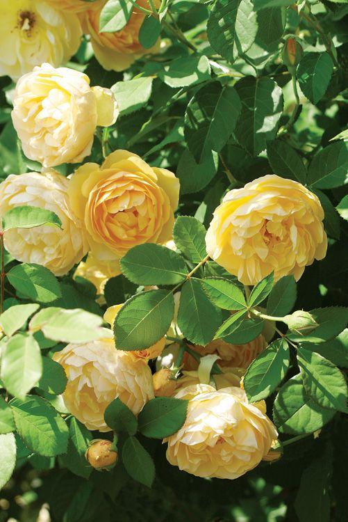 Roses In Garden: 109 Best Yellow Roses My Fav Images On Pinterest