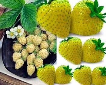 Yellow Wonder Wild Strawberry.  Yellow version of Alpine, elongated yellow fruits, sweet and aromatic.  Creamy, small fruit are tasty favorite in Europe.  Served at up-scale restaurants, easy to grow from seed.  Birds avoid it, giving better harvest.