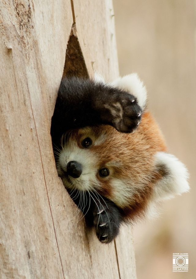 Red Panda, daww!