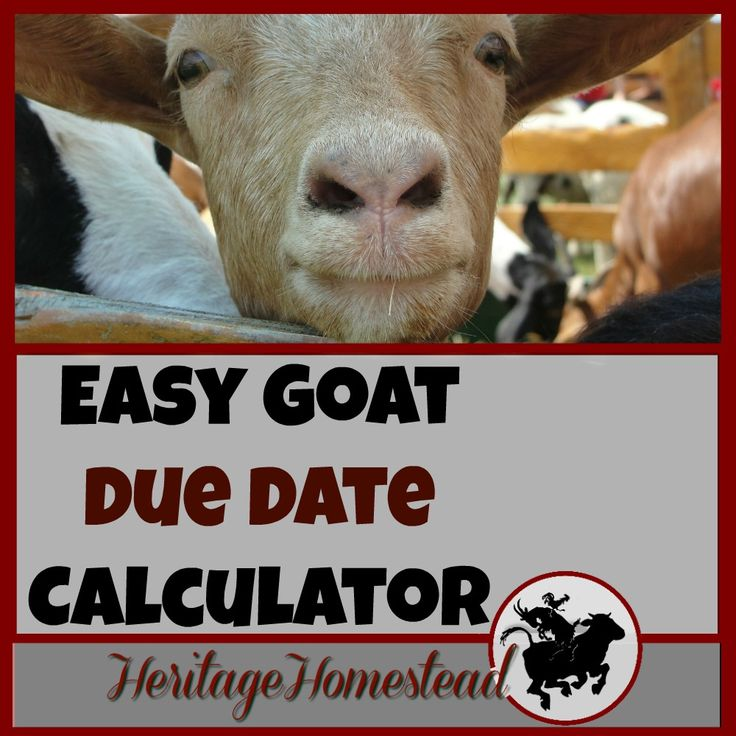 Easy Goat Due Date Calculator & Feed and Care a Goat Needs During Pregnancy via @delciplouffe