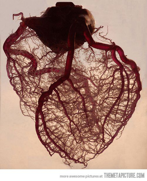 The human heart stripped of fat and muscle, with just the angel veins exposed