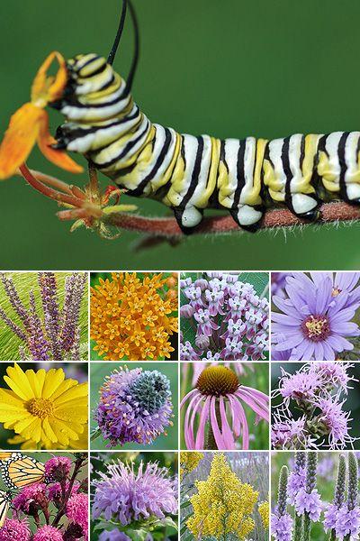 96 Plant Monarch Habitat Garden (for Dry Soils). Pre Planned Gardens For