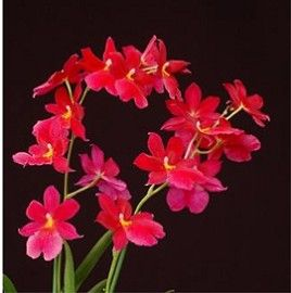 Orchidée Burrageara 'Nelly Isler'