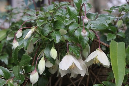 Clematis cirrhosa - mediteranean native, winter-blooming vine.  likes a full sun western exposure best but will tolerate some shade. aprox. 20'