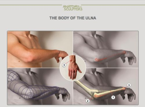 "drawingden:  ""Arm Anatomy by Anatomy For Sculptors  """