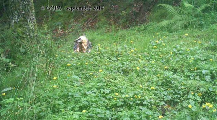 Gypaète barbu prenant un bain de boue ferrugineuse dans les Pyrénées | Les images de ce comportement mystérieux sont très rares, et le Groupe Ornithologique des Pyrénées et de l'Adour (GOPA) a publié une vidéo obtenue grâce à un piège photographique.  Photo extraite de la vidéo : Gypaète barbu prenant un bain de boue ferrugineuse (source : GOPA).  #ornithologie   #oiseaux   #nature   #pyrénées
