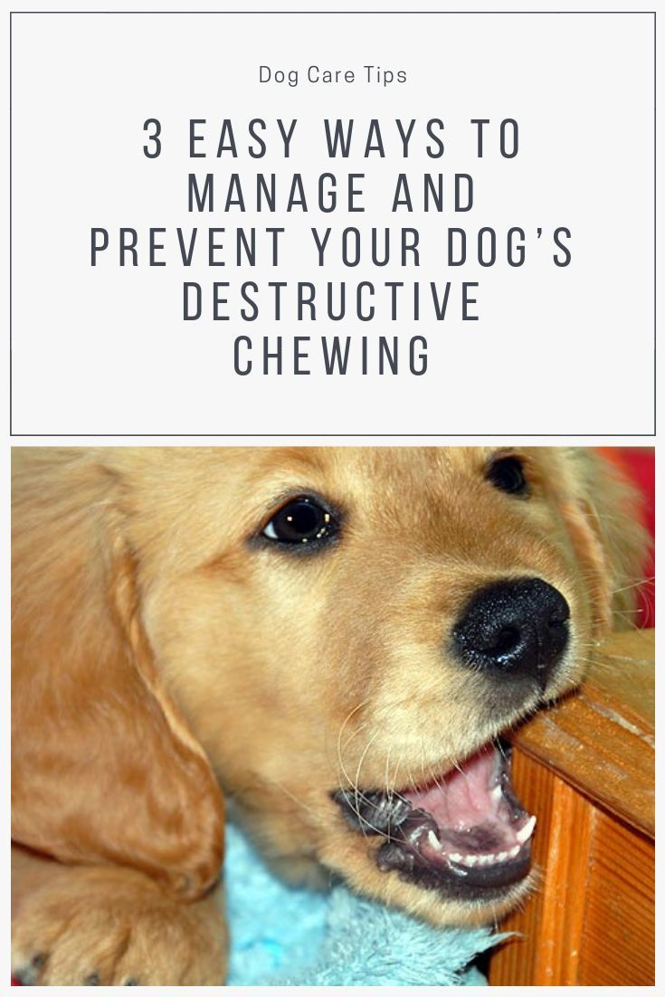 3 Easy Ways To Manage And Prevent Your Dog S Destructive Chewing Lovely Animals World In 2020 Dogs Dog Care Tips Your Dog