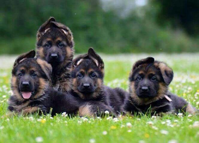 ❤ GSD Puppies