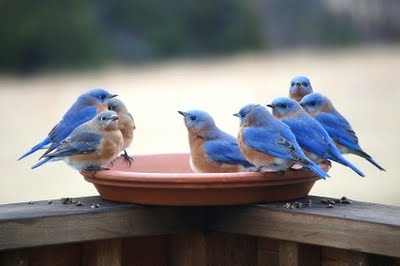 Bluebirds are my favorite fine feathered friends.