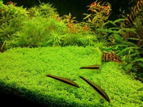 Hemianthus-034-Cuba-034-Foreground-Live-carpet-Aquarium-Tropical-Plants