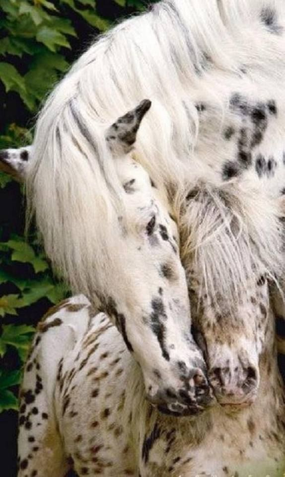 mare with her colt ... coats of white with black spots  ...  sweet!