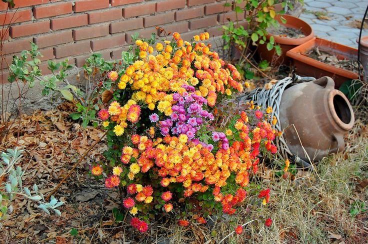 kasım ayını simgeleyen en güzel çiçekler. kasımpatı...