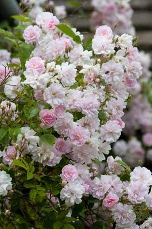 Rosa 'Paul's Himalayan Musk' - one of my favourite multi-flora ramblers for growing into trees.  It can reach 9m in height by 3.5m in spread.  It bears clusters of pale pink flowers in Summer.  It has one large flush and then it's over.
