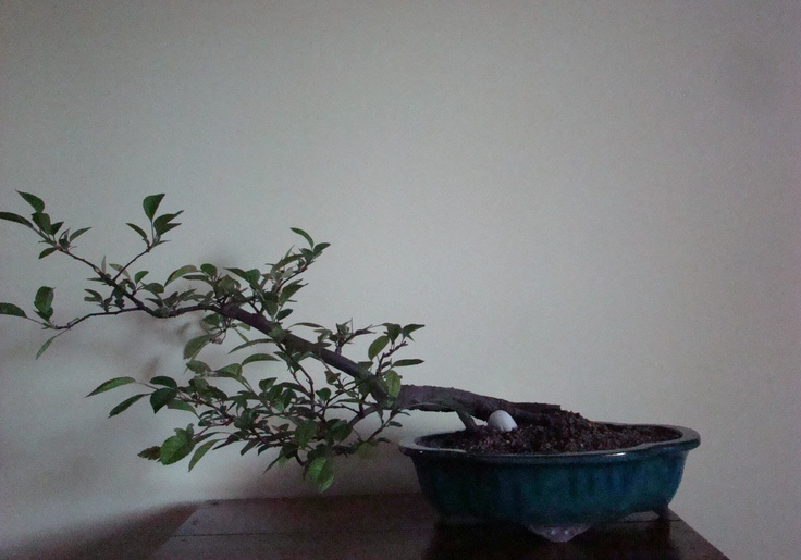 Hawthorn bonsai (second year in training).