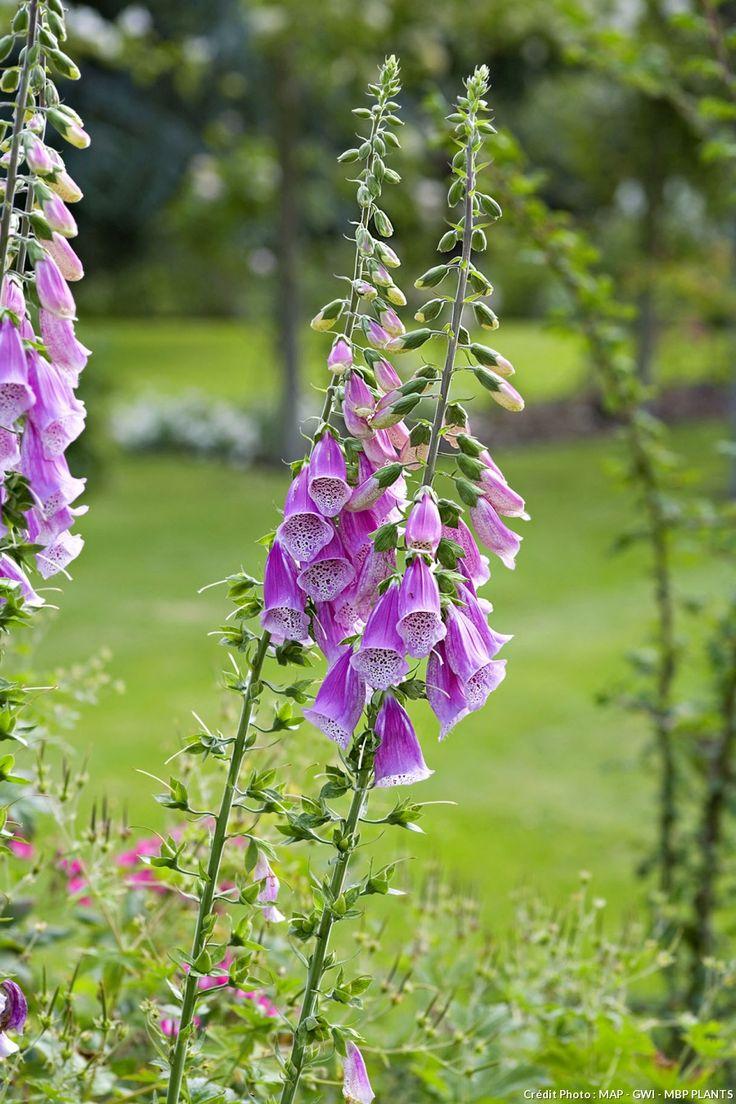 Pante sauvage à cultiver au jardin  Digitale, Digitalis purpurea  Epis élancés et très élégants, à mi-ombre, généralement dans les clairières. Inutile d'arracher une plante, chaque petite boule qui succède aux fleurs donne plusieurs milliers de graines minuscules.