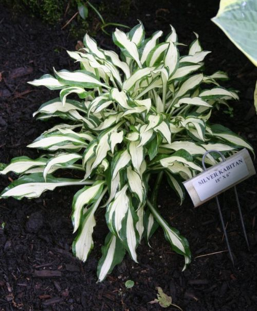 'Silver Kabitan' Hosta   (Schmid 91) Our Hosta 'Silver Kabitan' has long, white-centered leaves with an irregular green margin. The AHS registered this hosta in 1986 under the name Hosta sieboldii 'Haku-chu-han'. The correct name should be listed as Hosta 'Shiro Kabitan'.  Striped purple flowers in late summer.  Hosta 'Silver Kabitan' makes an excellent edging plant.  Color: Green and White Size: 6 inches tall by 18 inches wide