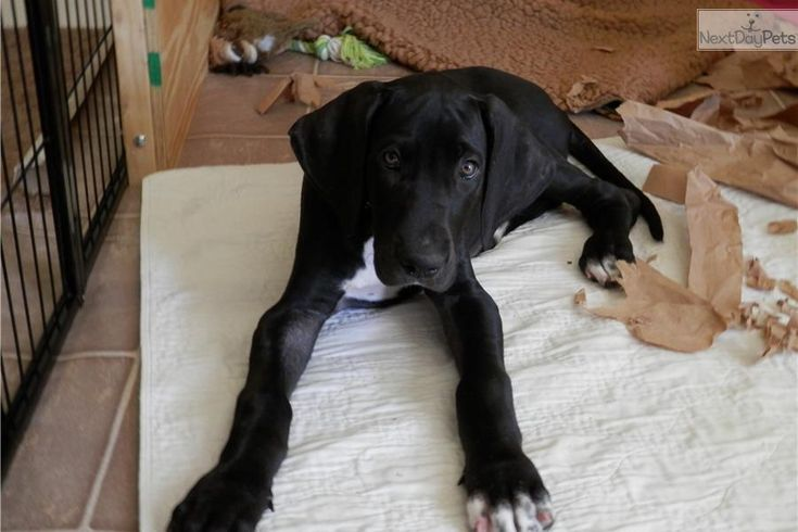 great dane puppies | Great Dane for sale for $800, near Orange County, California. fc9f1c1d ...