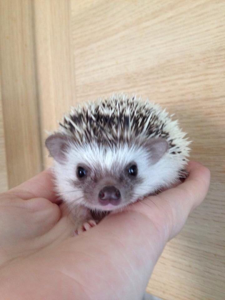 This is Bella, an African Pygmy hedgehog. #hedgehog #cute #quills #africanpygmyhedgehog #buttonnose