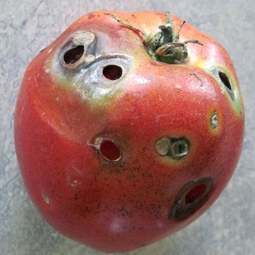 How to Keep Bugs Away From Tomato Plants | Garden Guides