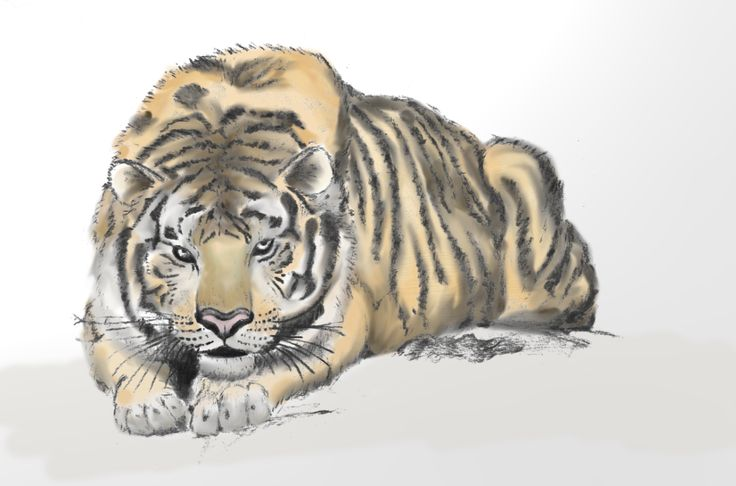 Resting tiger - Colored with a digital art software