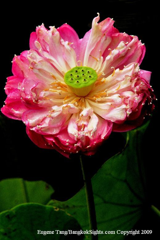 218 Best Images About Flowers Lotus And Lily On
