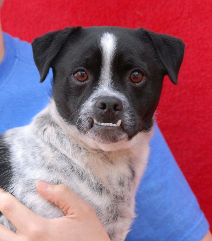 Bailey is full of so much goodness and we love his cheery personality.  He is a young Pug mix with unique good looks, 3 years of age, now neutered and debuting for adoption today at Nevada SPCA (www.nevadaspca.org).  Bailey is terrific with dogs and people.  At the time of rescue a volunteer found him dodging cars in traffic at a busy Vegas intersection (and further, he had no sign of responsible ownership).  Please help find Bailey a stable, responsible, lifelong home.