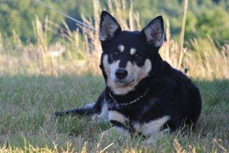 Lapponian Herder dog photo | Home > D-day, Randers Denemarken. > DSC_3078.JPG