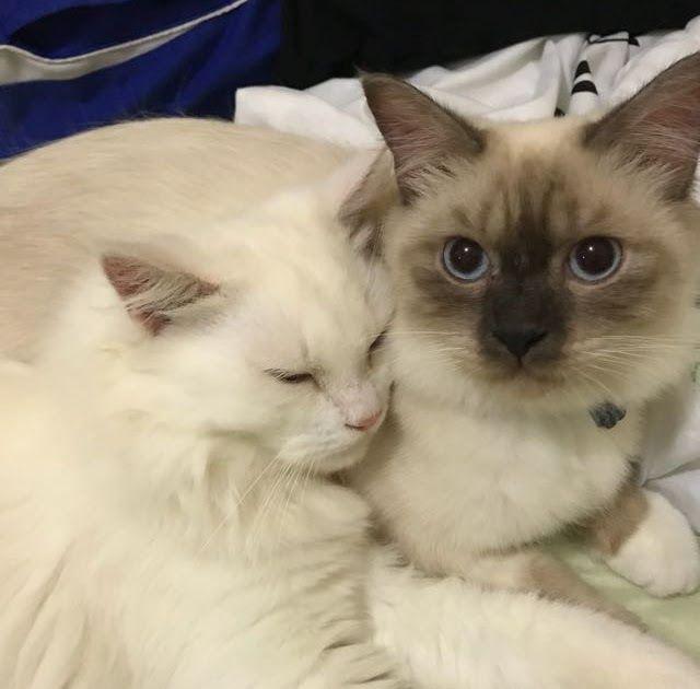 Gambar Kucing Himalaya Asli Wajahnya Berwarna Coklat Gelap 6 Jenis Kucing Himalaya Asli Dan Cara Memeliharanya By Yosi P Kucing Himalaya Kucing Kucing Persia