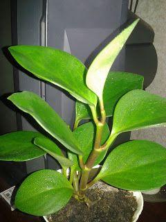 Оленькины цветочки: Пеперомия. Вечнозеленое,мясистое растение из семей...