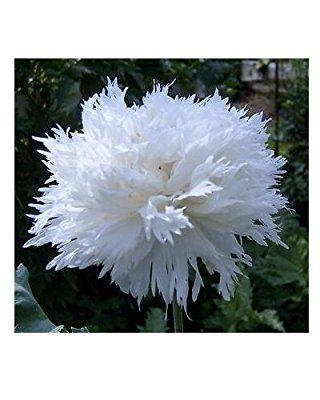 Weißer Mohn - 100 Samen: Amazon.de: Garten