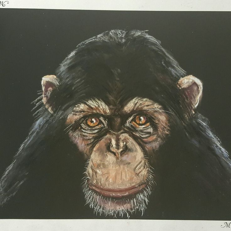 Chimpanzee Gaze...pastel