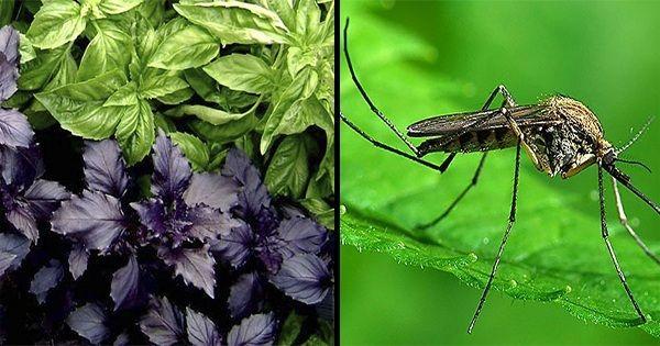 Растения, которые отгонят от вас комаров. Обсуждение на LiveInternet - Российский Сервис Онлайн-Дневников