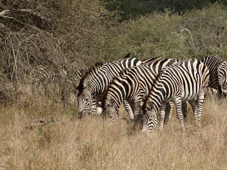 Zebra on S100